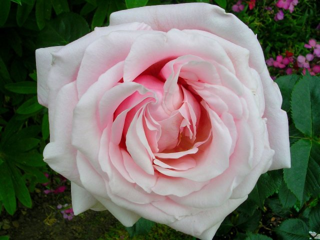 rose_anna_pavlova.jpg