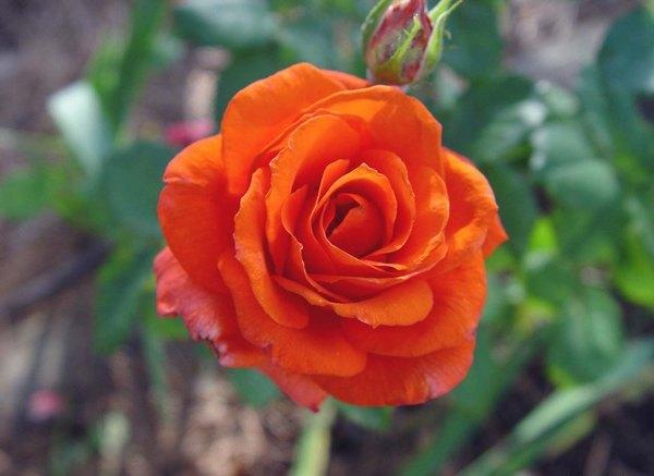 rose_zorina_1963_2.jpg